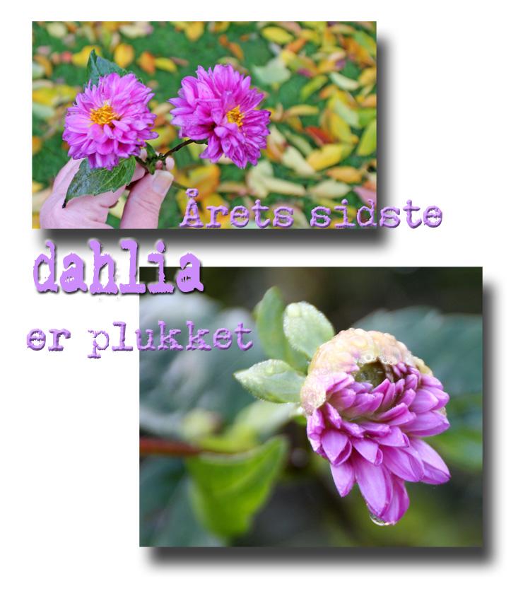 dahlia_101113