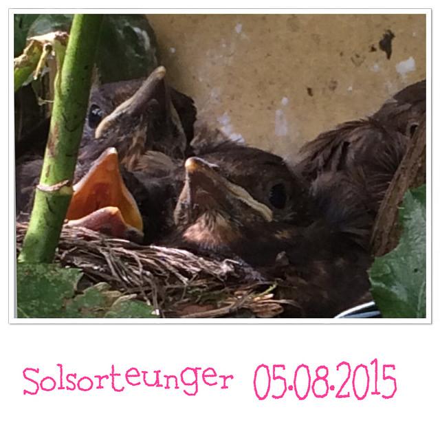solsorteunger_05.08.2015